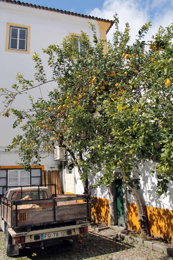 zitronenbaum in evora