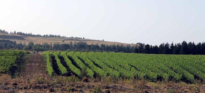 Weinberge auf den Golanhöhen