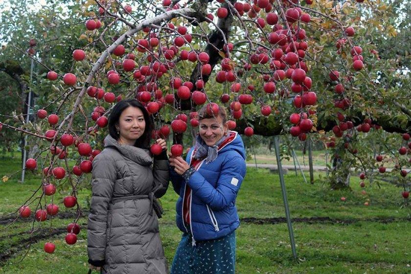 japanisches Apfel-Schlaraffenland