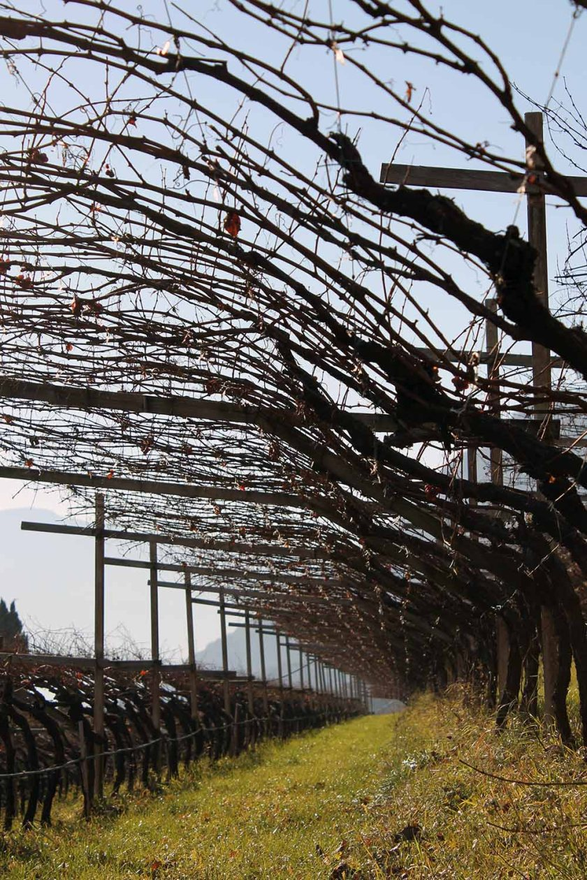 herbstliche Weingärten in Tramin