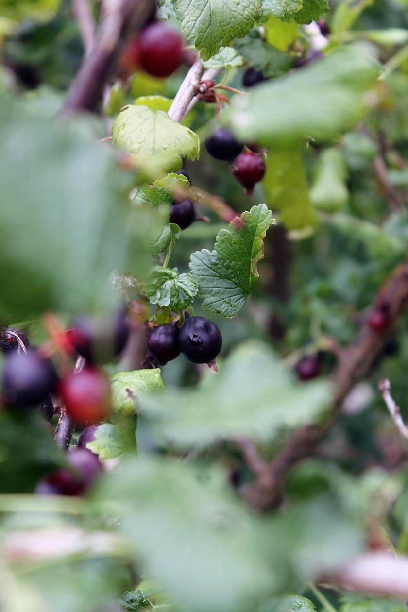 auch die dunklen Beeren warten schon auf die Ernte