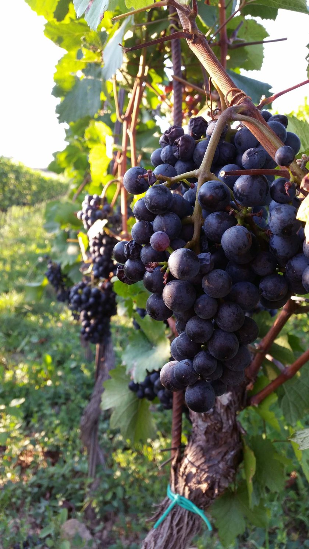 Umgeben von Trauben, schmeckt der Wein noch besser