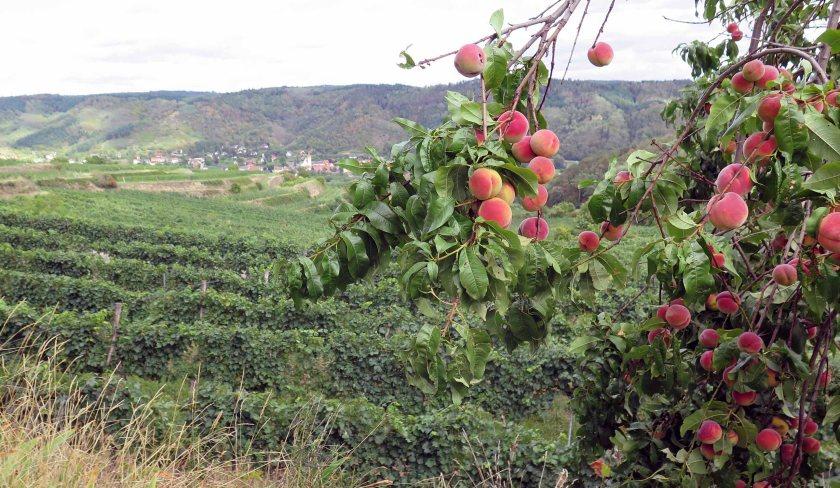 Am Weg auch noch ein paar reife Pfirsichbäume